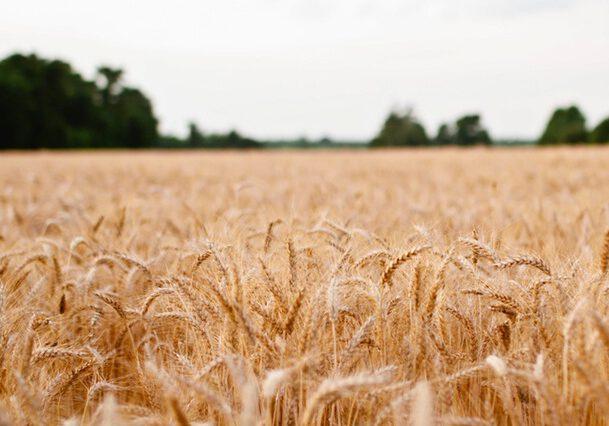 tarwe-van-het-land